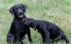 Buckeye Retriever Club Happy Dogs