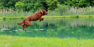 Buckeye Retriever Club Jumping Dog in Pond